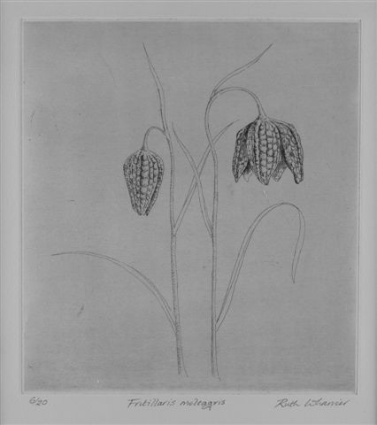 Fritillaries-etching