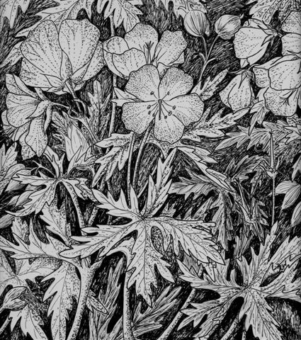 MeadowCranesbill-pen-and-ink