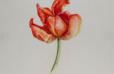 Tulip 'Orange Favourite' on vellum