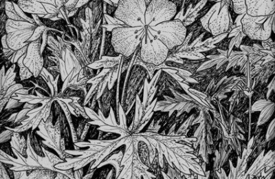 Meadow Cranesbill pen and ink